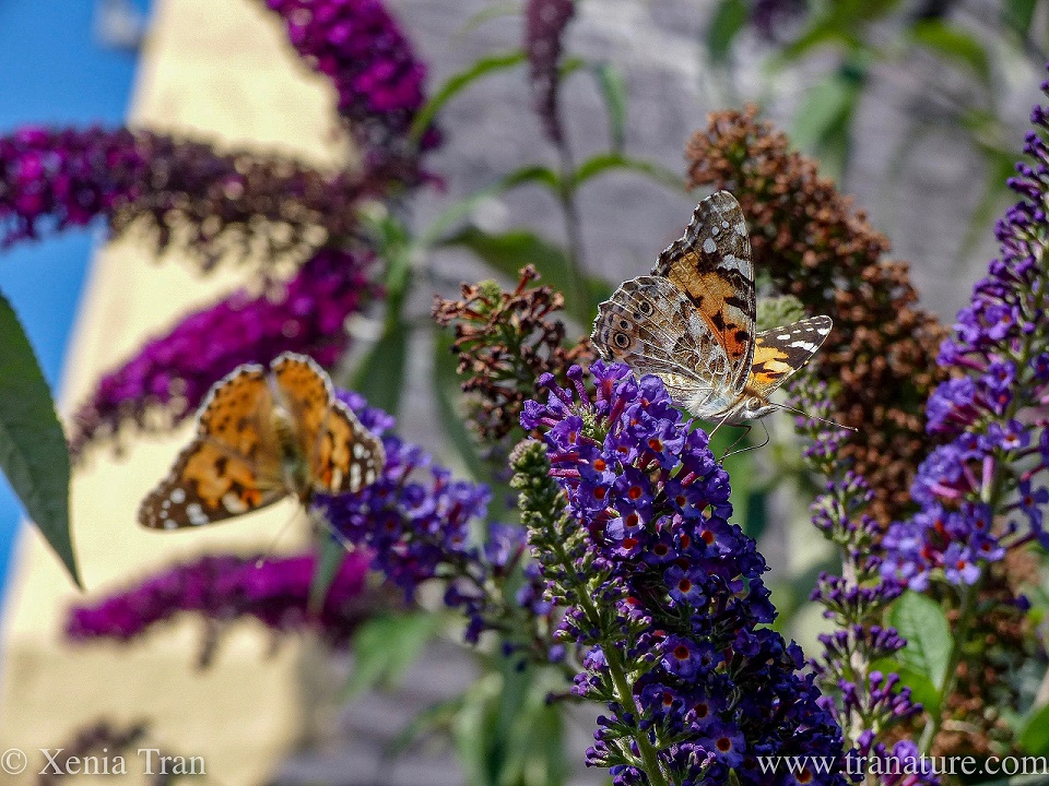 two painted lady butterflies feeding on lilac blossoms
