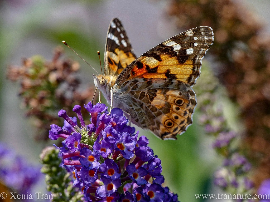 macro shot of a painted lady butterfly on top of lilac blossom