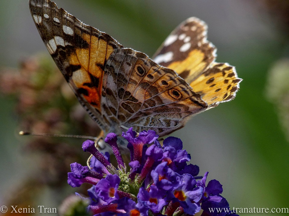 a painted lady butterfly on top of lilac blossom