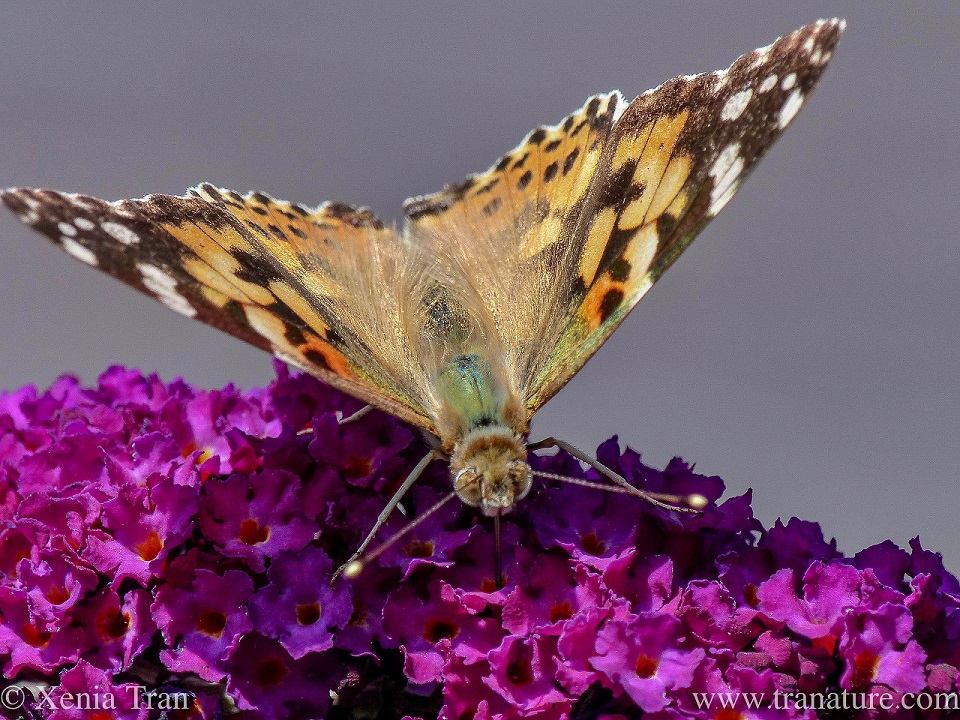 macro shot of a painted lady butterfly feeding on purple buddleia