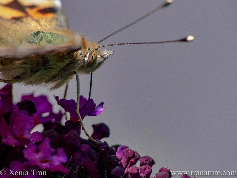 macro shot of the face of a painted lady butterfly feeding on purple buddleia