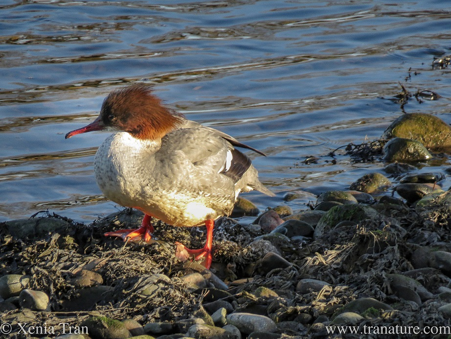 a female merganser standing on exposed seaweed and stones in tidal river