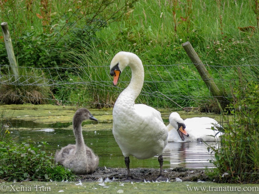 a swan couple with their cygnet in the pond