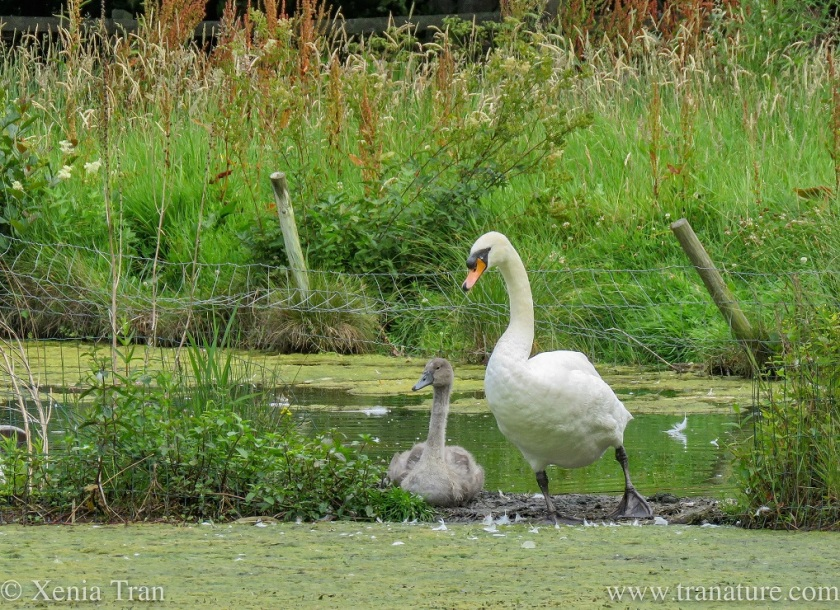a cob and his three month old cygnet on a small island in the pond