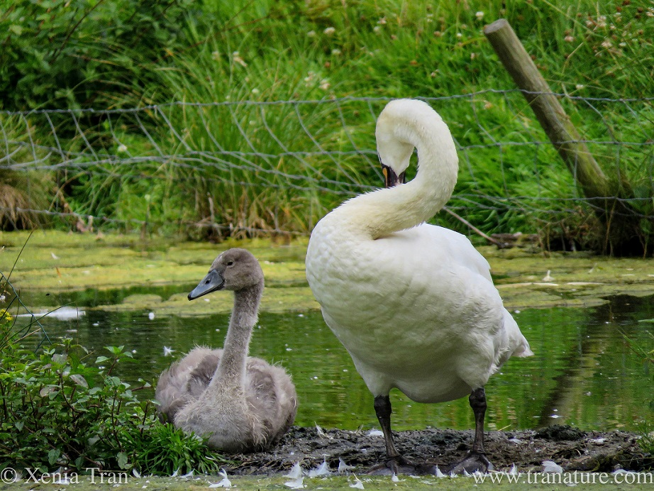 a cob preening on a small island beside his cygnet