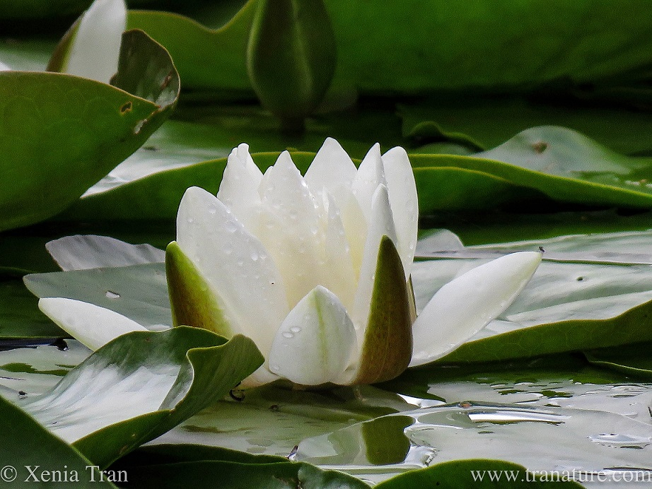 a waterlily blooming on the pond in the rain