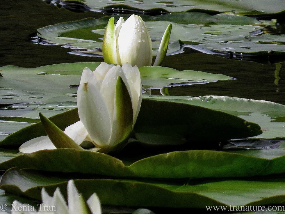 two waterlily buds opening with raindrops on the petals and leaves