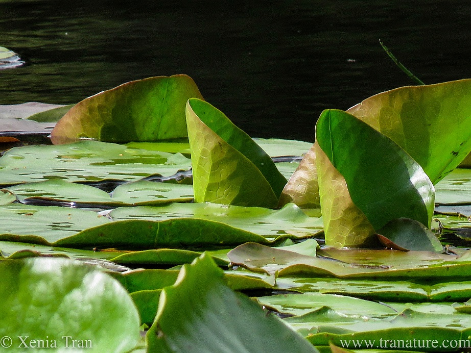 close up shot of waterlily leaves unfurling in the rain
