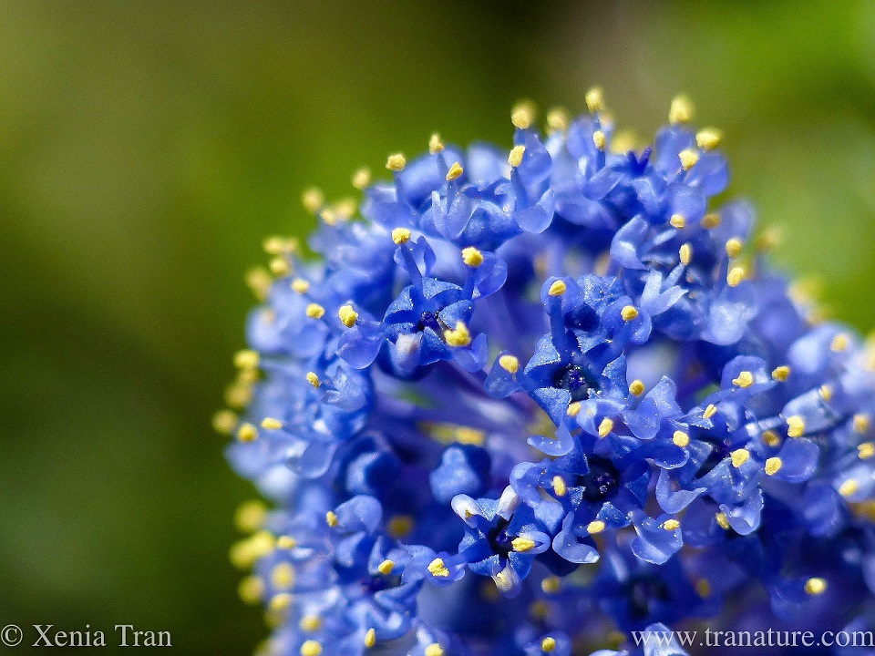 macro shot of blue ceanothus flowers