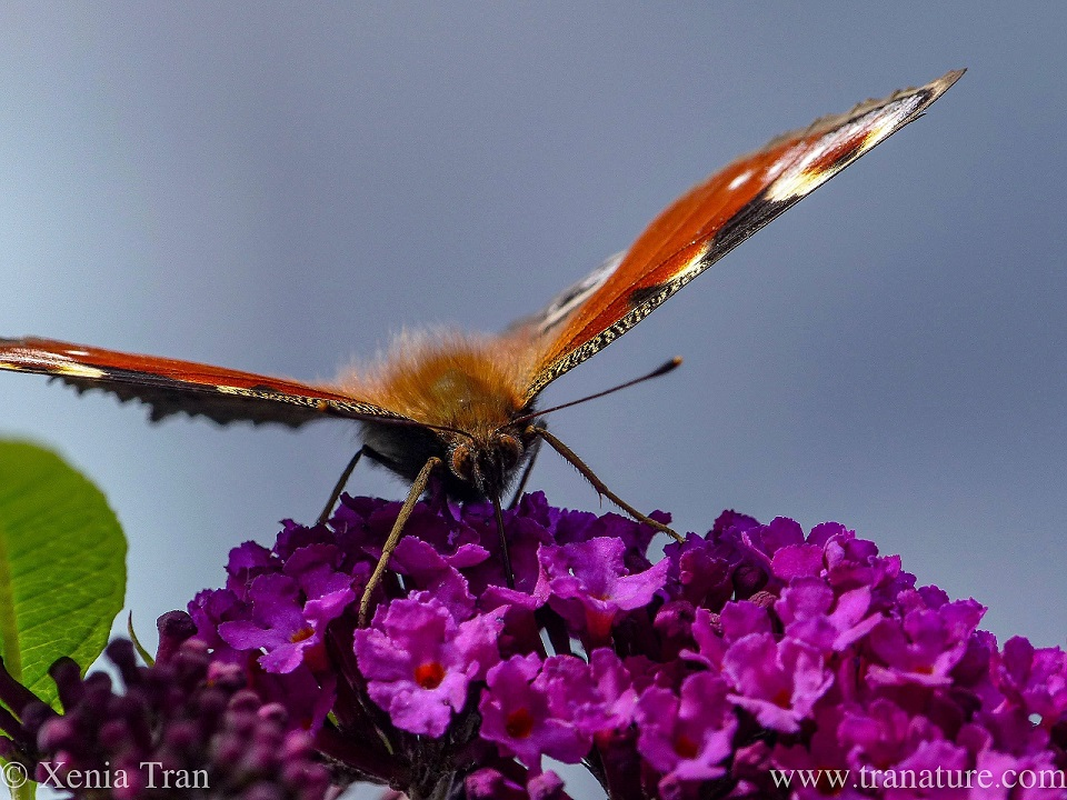 a macro shot of a peacock butterfly on purple lilac