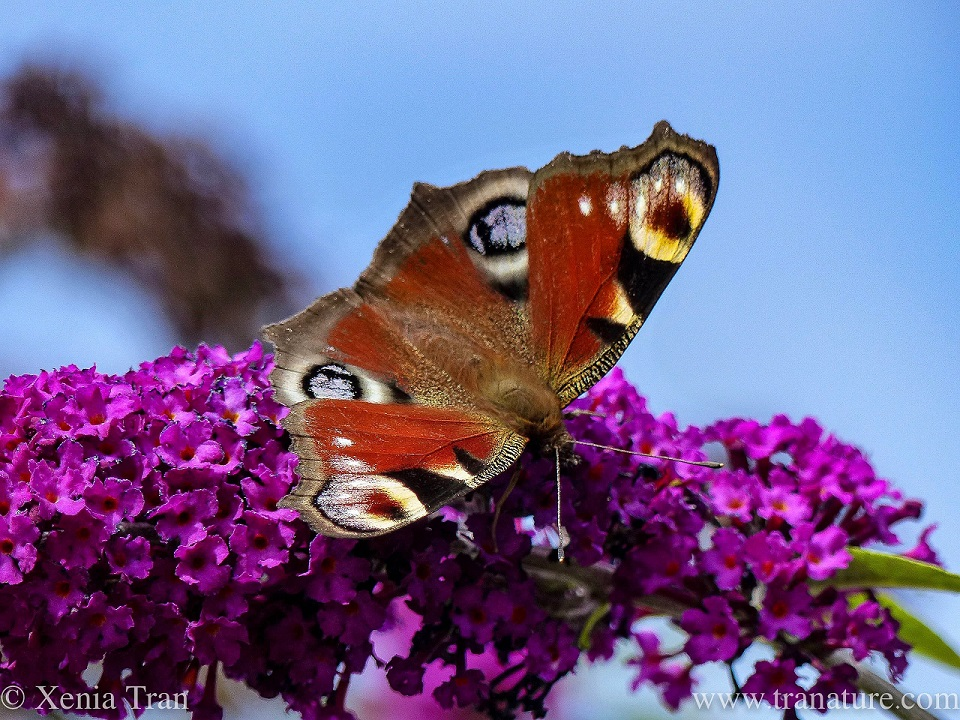 macro shot of a peacock butterfly feeding on a magenta Duddleia