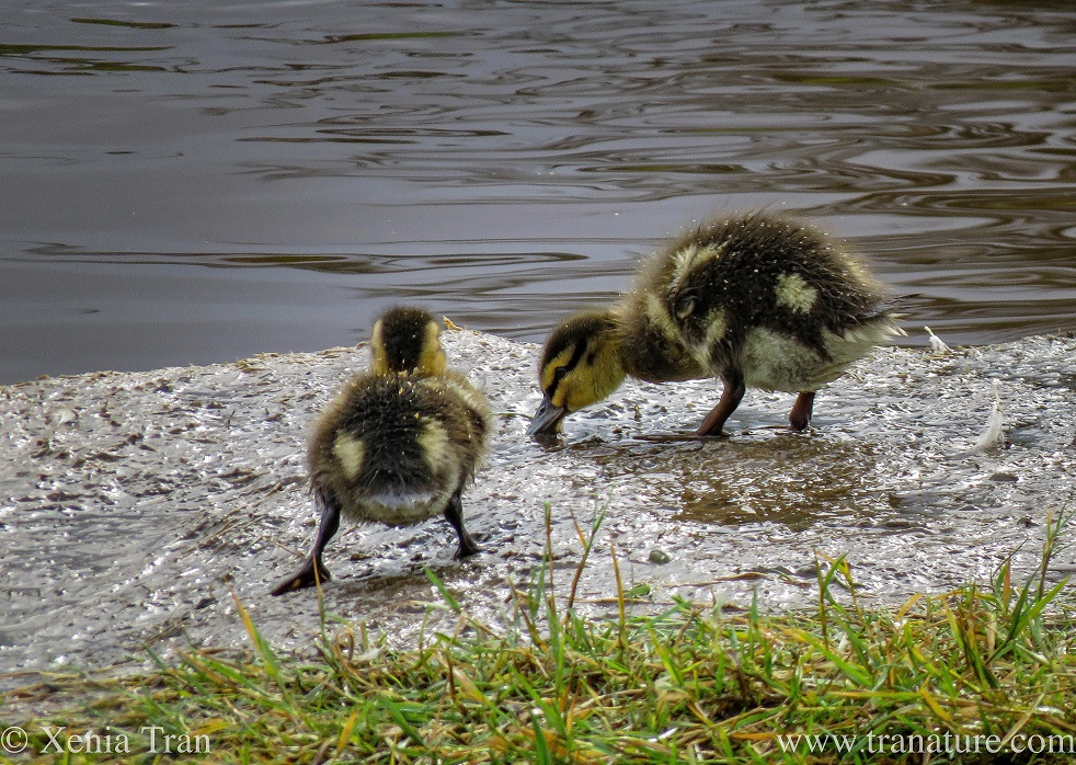 two ducklings feeding in the shallows of the river