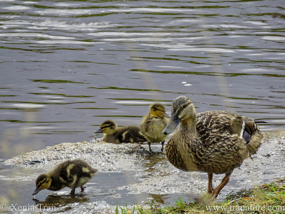 a mallard mama duck with three of her ducklings by the riverbank