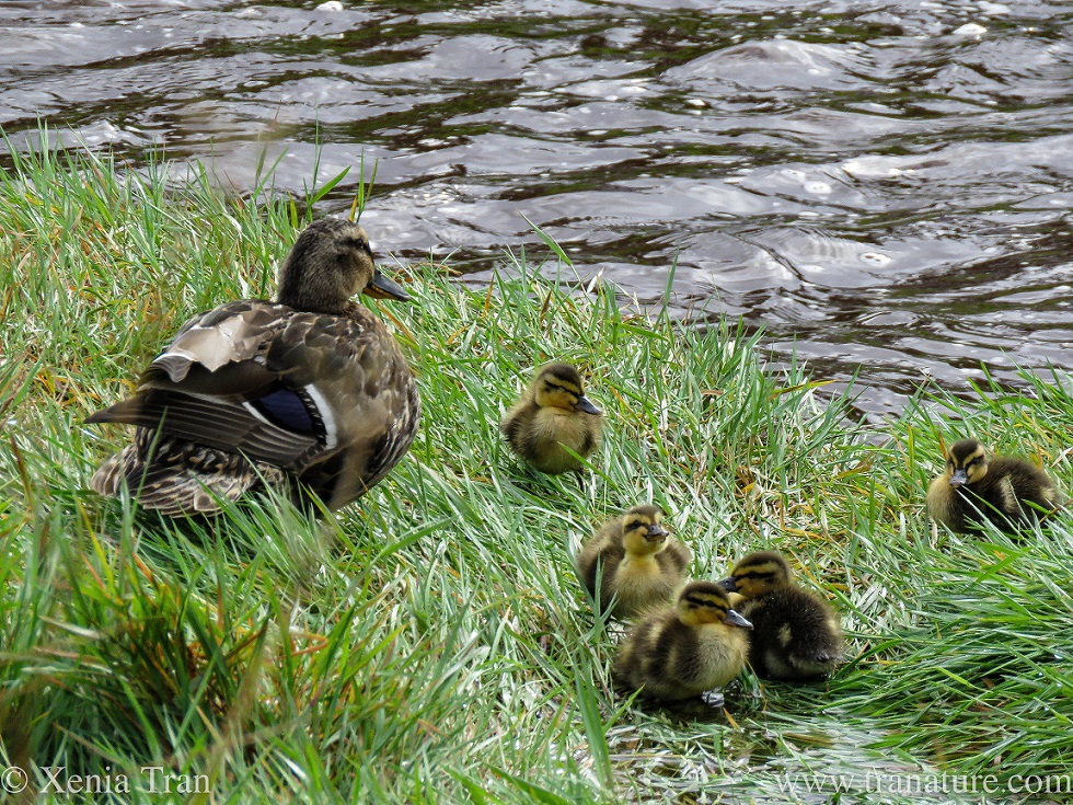 a mallard duck with five of her young ducklings in the grass by the river