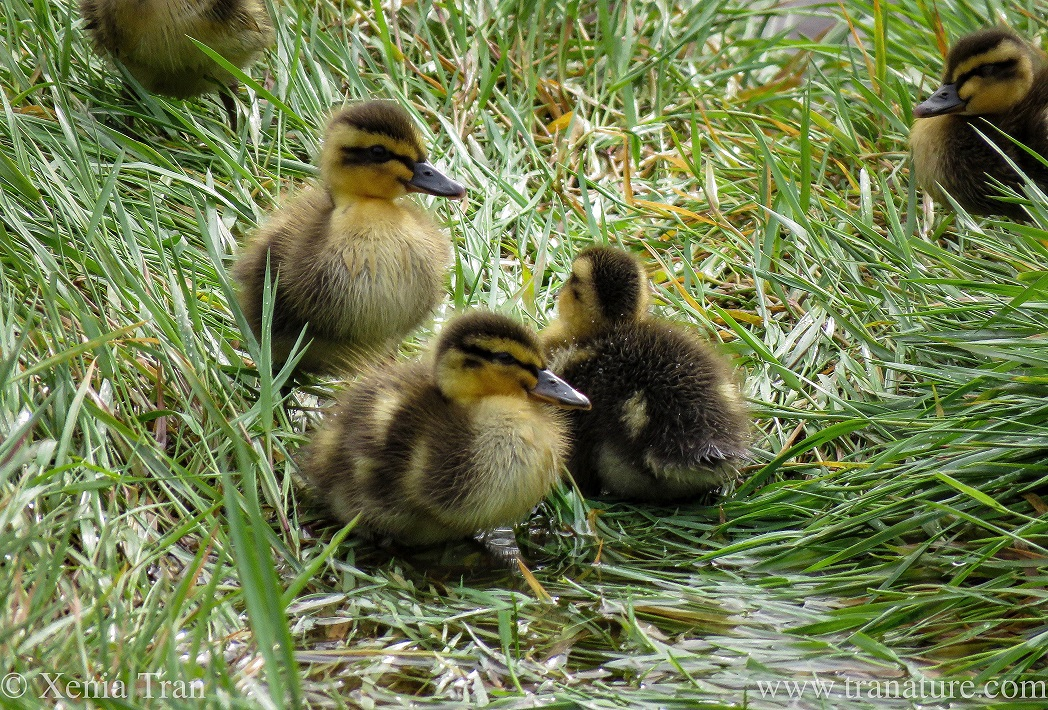 three week-old ducklings in wet grass with two more ducklings in the background