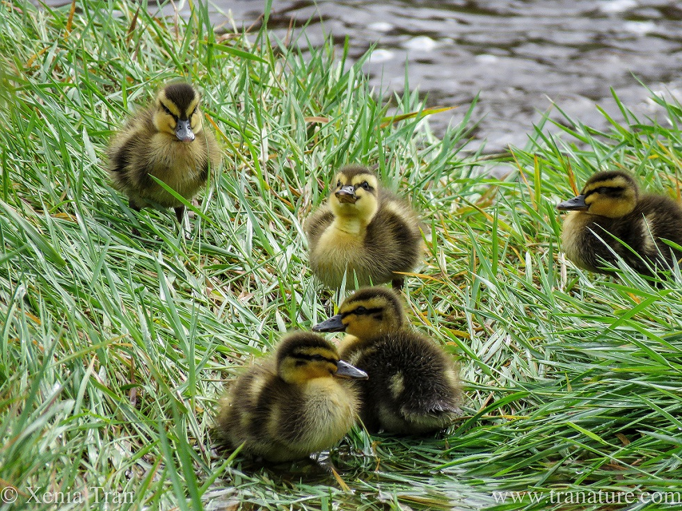 five one-week-old ducklings in wet grass