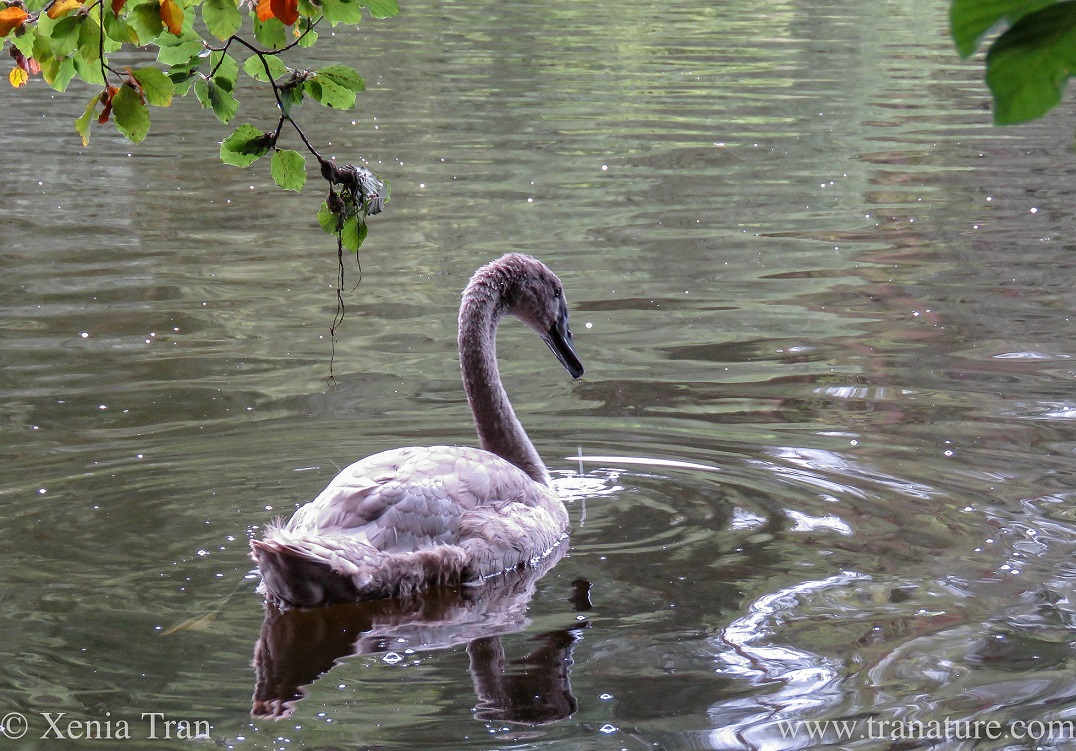 a cygnet swimming in the pond