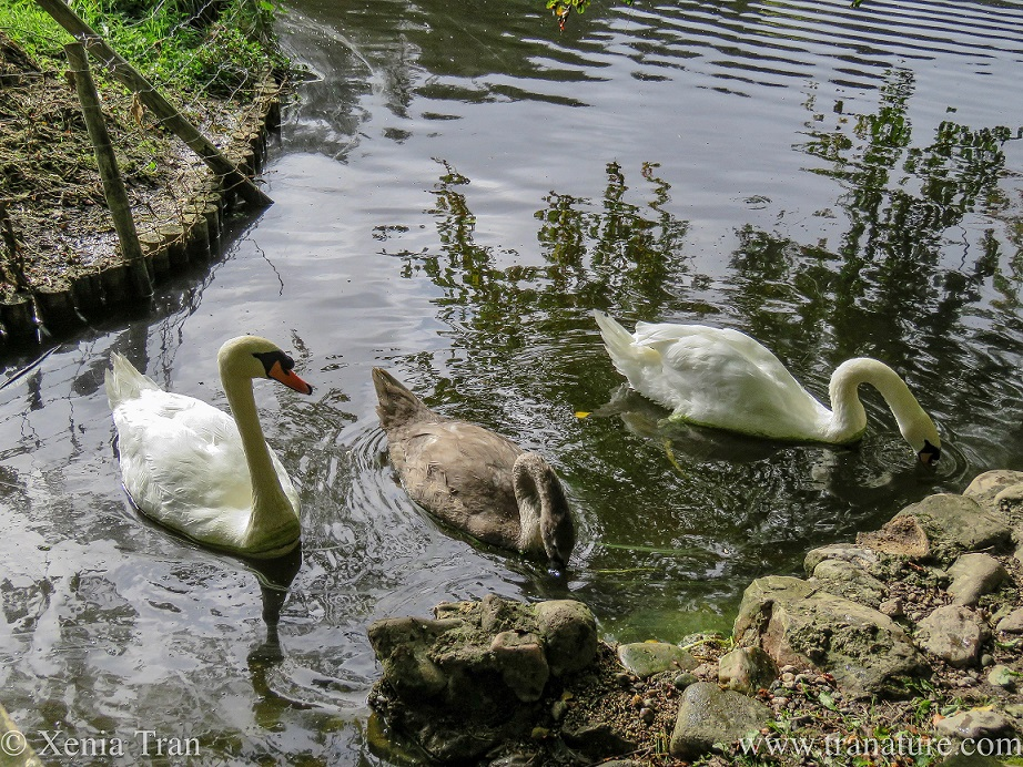 swan parents in new plumage on either side of their growing cygnet