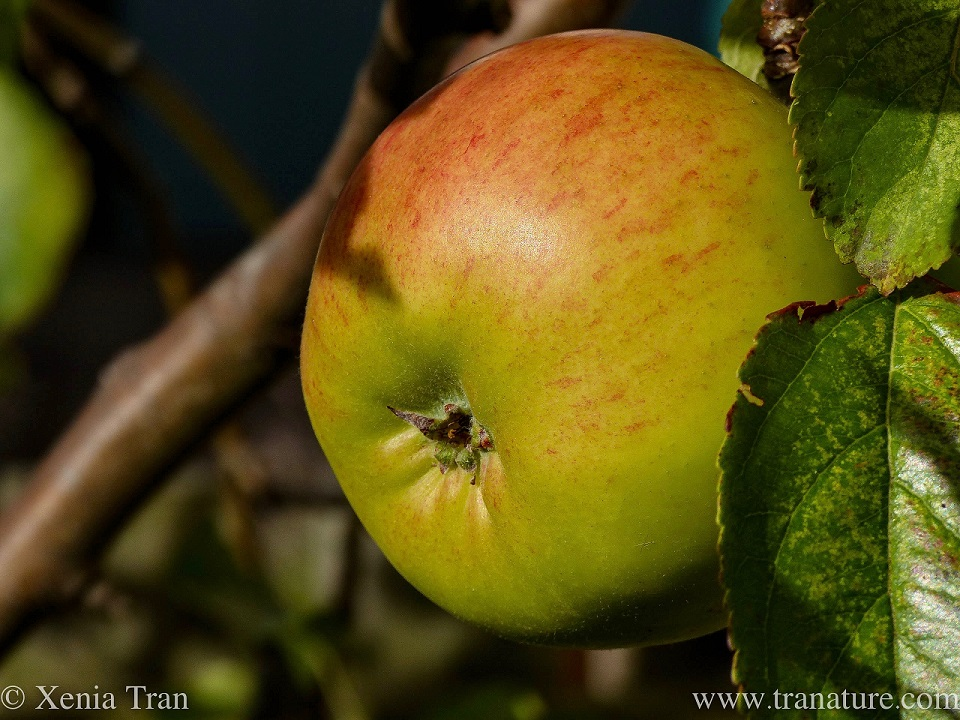 macro shot of a ripening apple on the tree