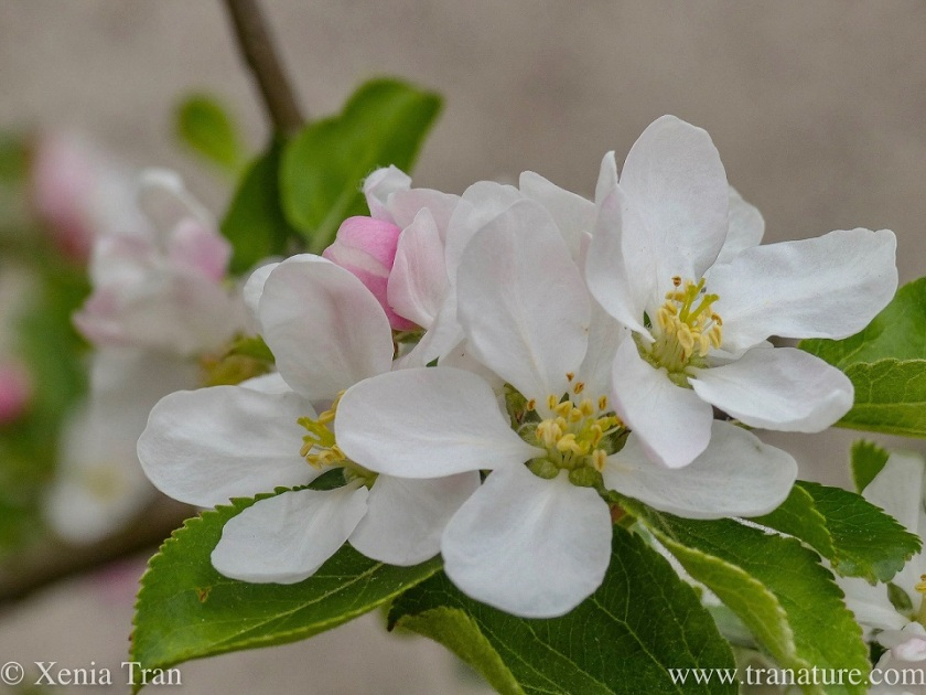 macro shot of apple blossom