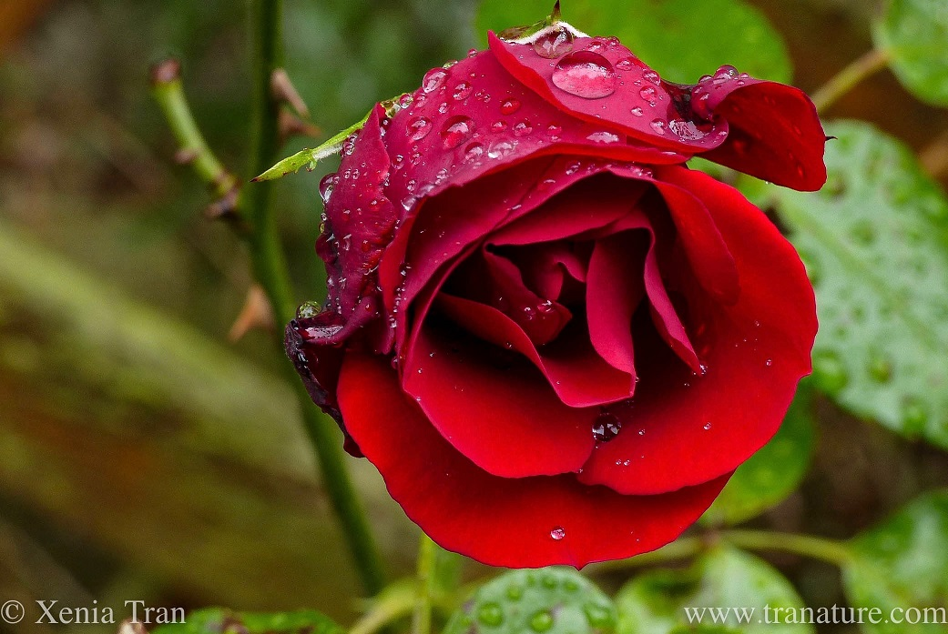 Wordless Wednesday: Raindrop Rose