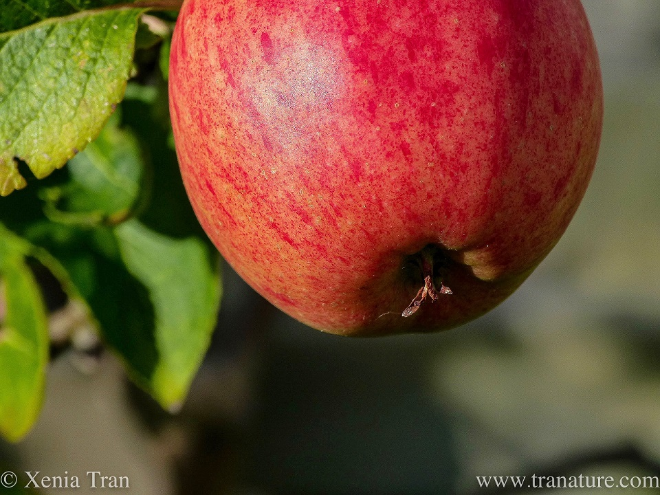 macro shot of a ripened, red apple