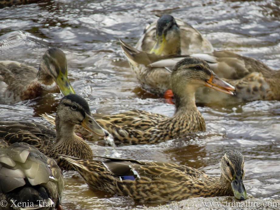 smiling female mallard ducks swimming in the river