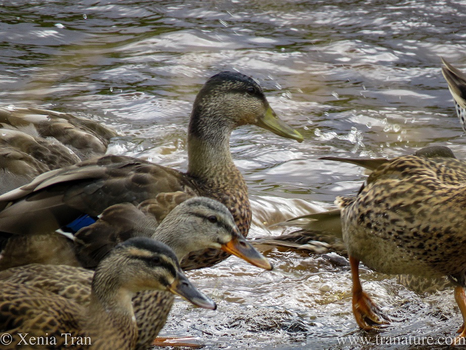 three female mallard ducks in the river