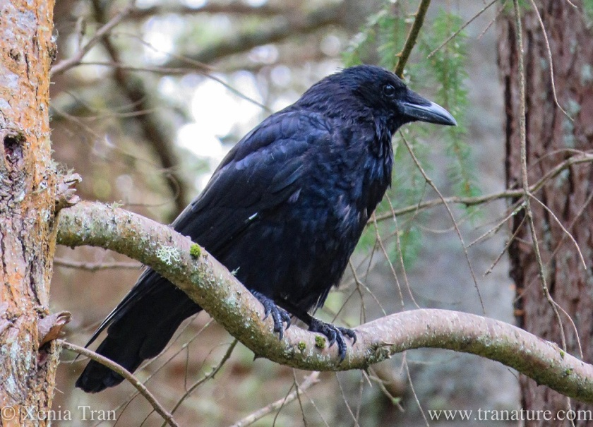 close up shot of a mature raven high up on a tree branch