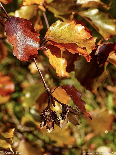 close up shot of beech nuts and gold and brown leaves
