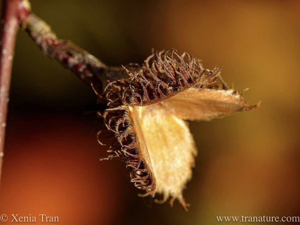macro shot of a wide open empty beech nut husk