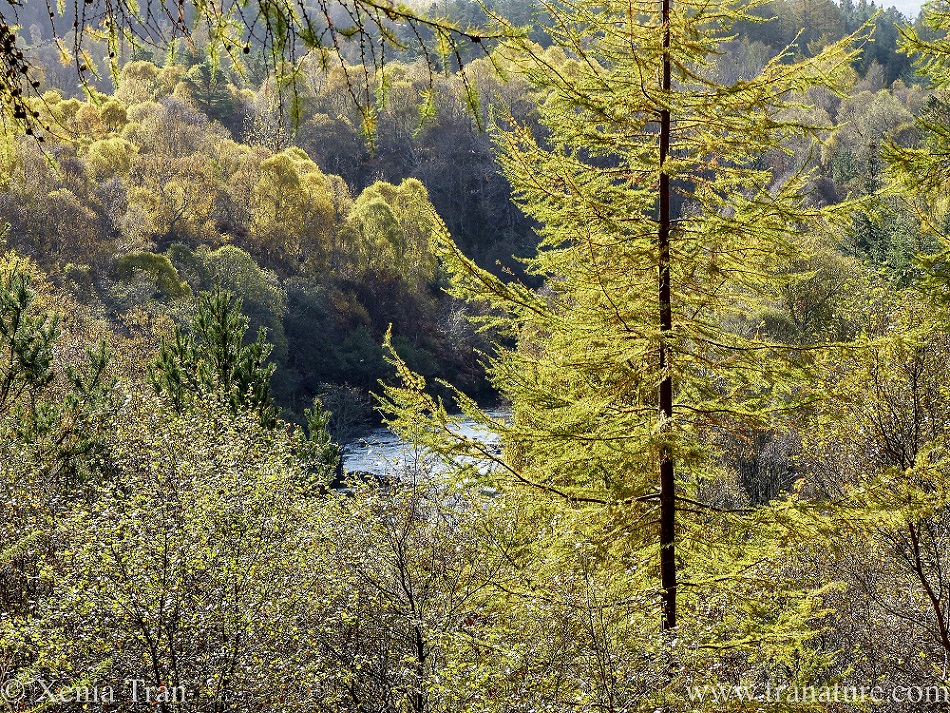 a view across the River Shin from Achany Forest in autumn