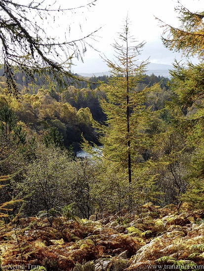 a view across the River Shin from Achany Forest in autumn colours