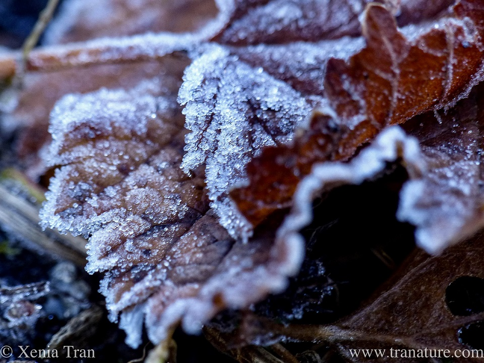 macro shot of brown leaves covered in melting hoarfrost