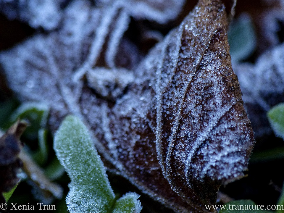 macro shot of brown and green leaves covered in hoarfrost