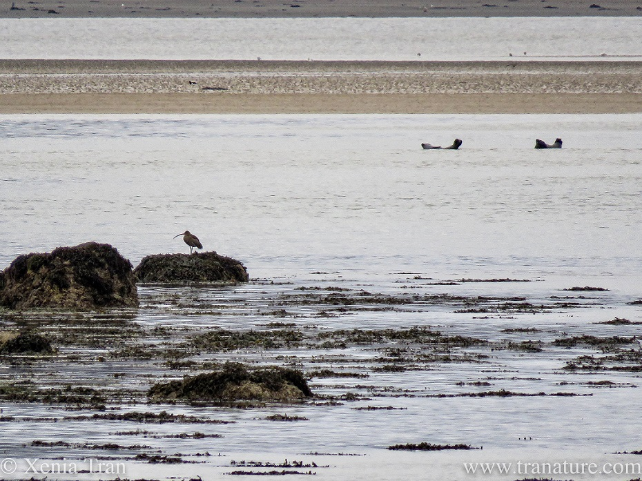 a curlew on a rock and two seals resting in the shallows