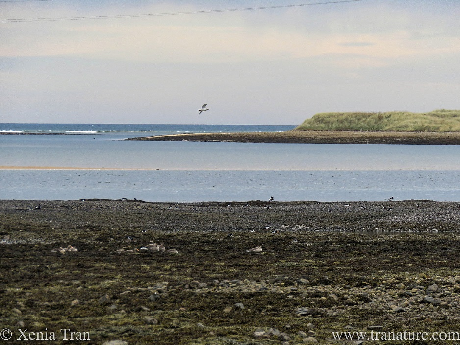 oystercatchers and seagulls feeding at low tide