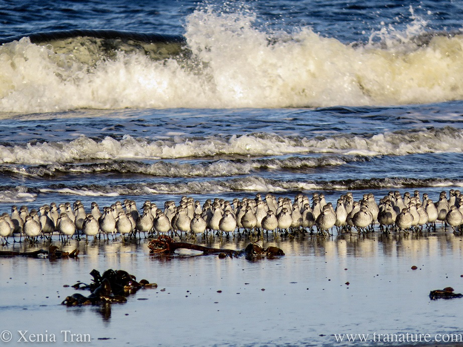 close up shot of a flock of greenshank wading towards the shore