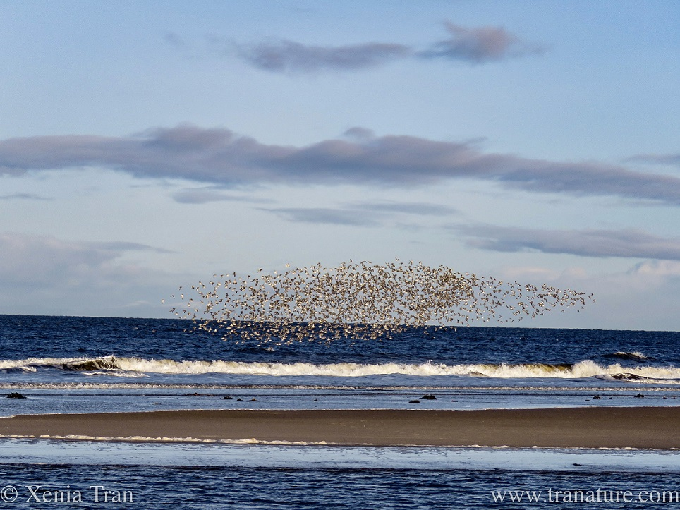 a flock of greenshank in full display above the sea and sandbar