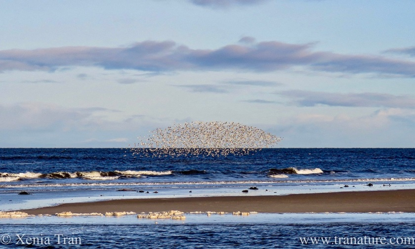 a flock of greenshank flying in formation above the sea and sandbar