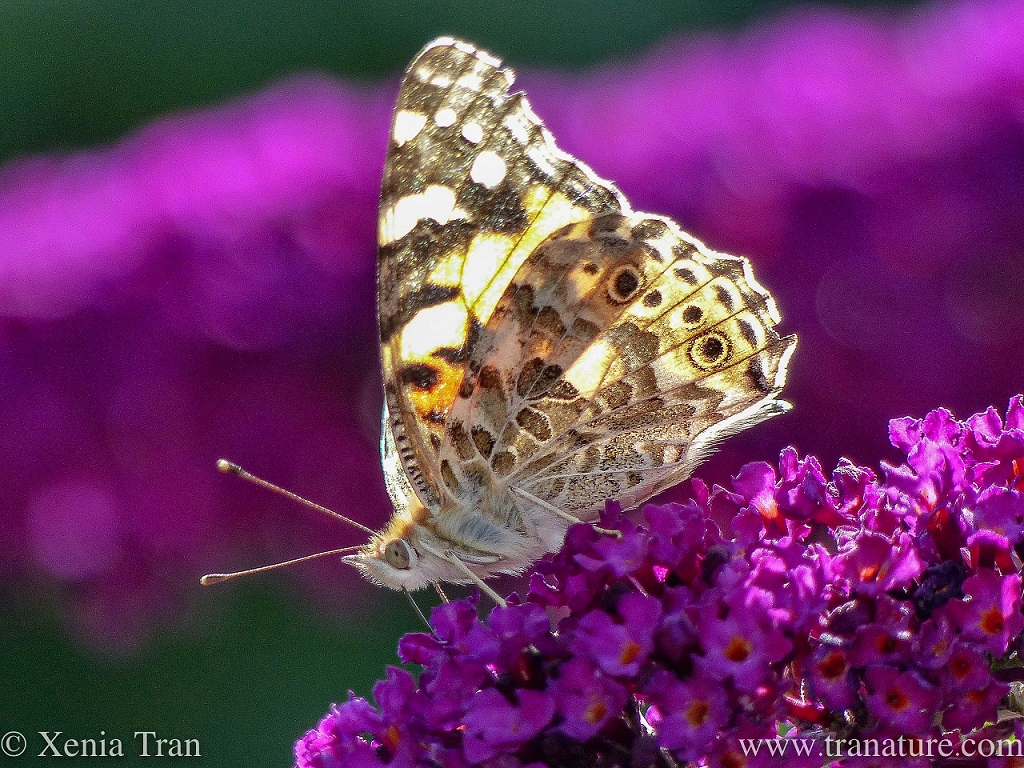 macro shot of a painted lady butterfly on a purple lilac