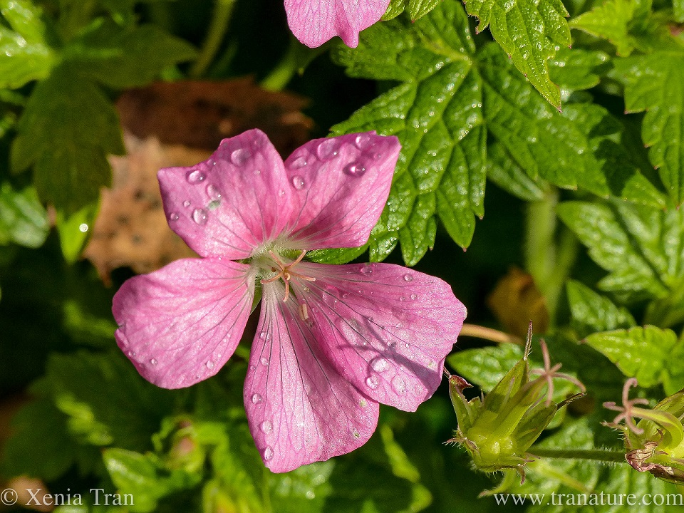 macro shot of a pink geranium flower with raindrops