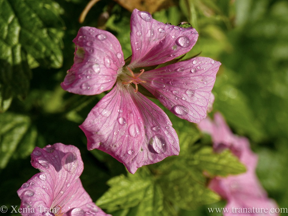 macro shot of pink geranium flowers with raindrops