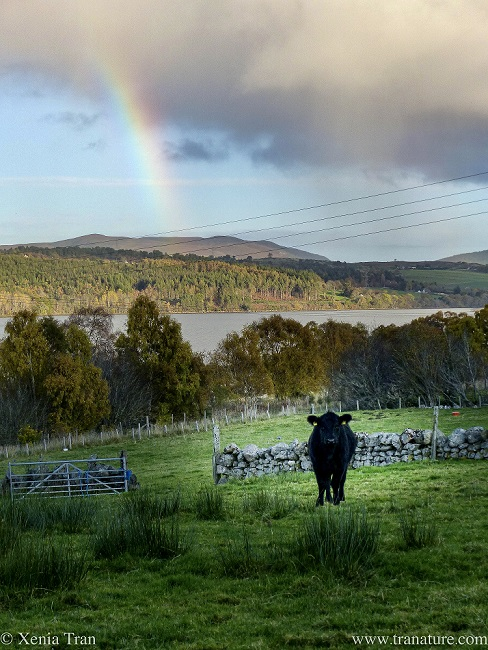 a young Aberdeen Angus in a field with a rainbow coming out of the cloud behind him