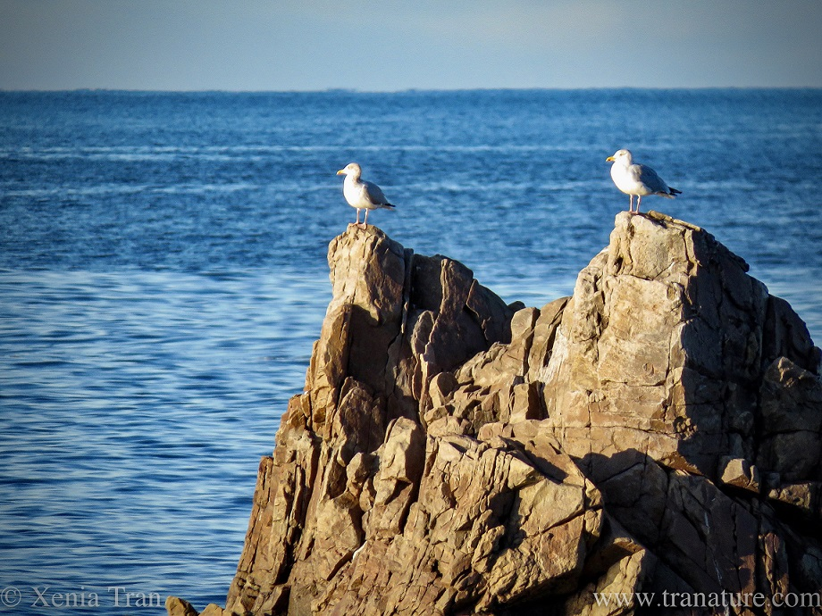 close up shot of a pair of seagulls perched on a rock in the Moray Firth