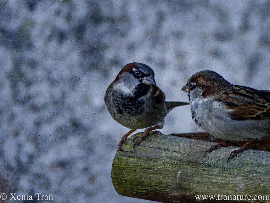 close up of two sparrows on the edge of a wooden birdfeeder