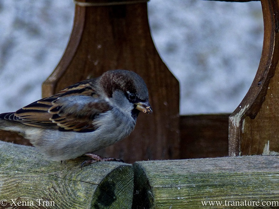 close up of a sparrow eating seeds on a weathered bird feeder