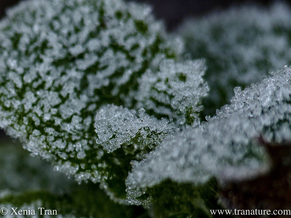 macro shot of frost and ice crystals on mint leaves