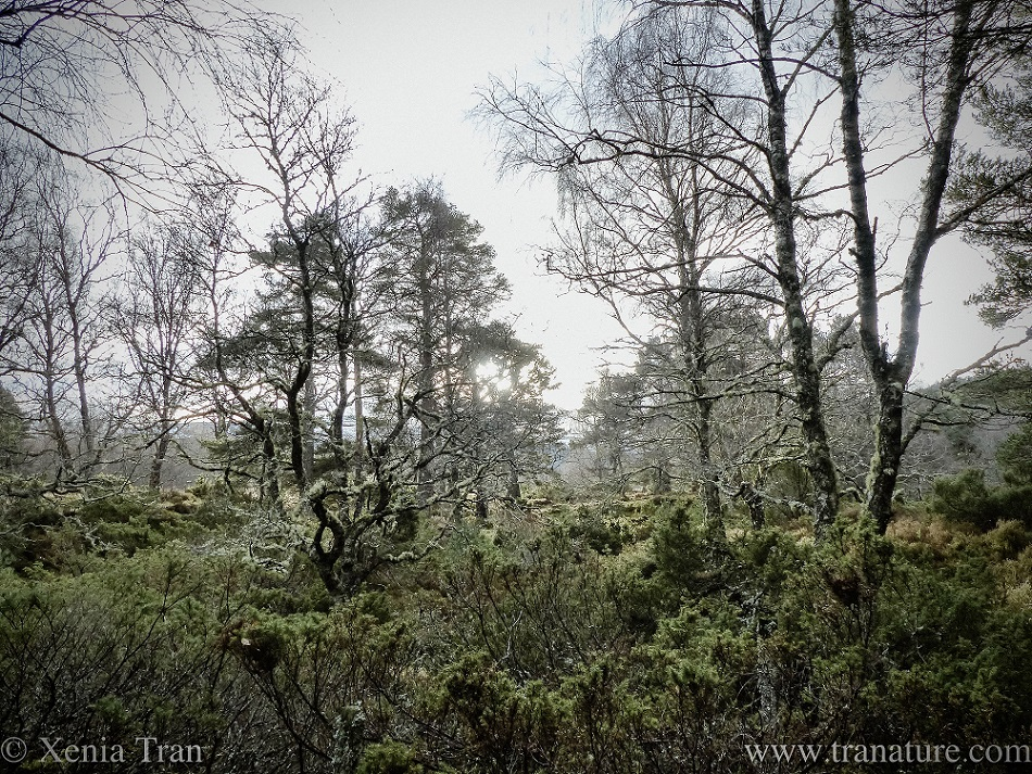 misty winter forest covered in lichen and moss