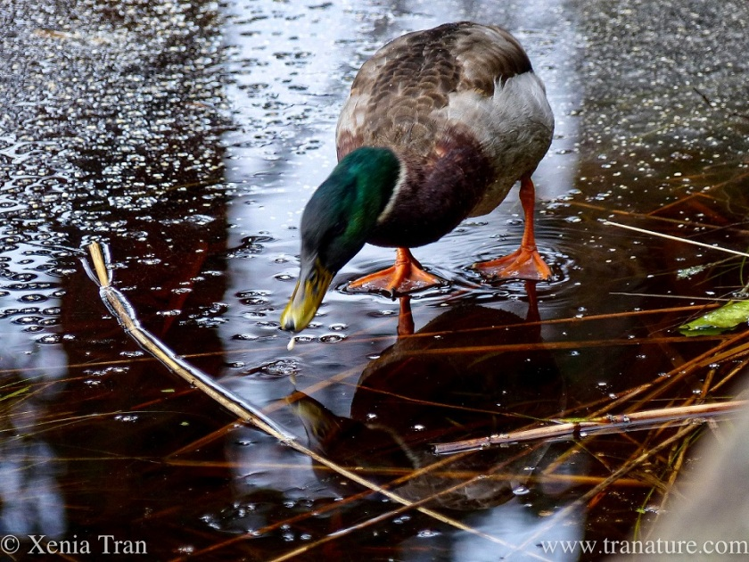 a male mallard duck pecking at the ice on a frozen loch